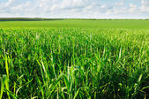 Campo de trigo jovem — Fotografia Stock