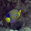 Stock Photo: Royal angelfish in Red sea.