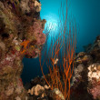 Stock Photo: Red cluster whip and tropical reef.