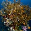 Fire coral and anthias in the Red Sea. - Foto Stock