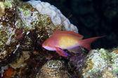 Anthias lyretail w morzu czerwonym — Zdjęcie stockowe