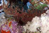 Siphonogorgia in the Red Sea. — Stock Photo
