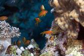 Oman anthias in the Red Sea. — Stock Photo