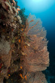 Sea fan and Anthias in the Red Sea. — Stock Photo