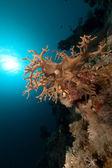 Corallo di cuoio dito nel Mar Rosso. — Foto Stock