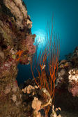 Red cluster whip and tropical reef. — Stock Photo