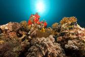 Tropische rif en anemonefish in de rode zee — Stockfoto