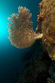Tabell korallrev i röda havet — Stockfoto