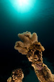 Slimy leather coral in the Red Sea. — Stock Photo