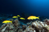 Yellowsaddle goatfish in the Red Sea. — Stock Photo