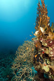Noded horny coral in the Red Sea. — Stock Photo