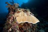 紅海のきのこ珊瑚や熱帯礁. — ストック写真