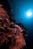 Koloniale buis spons in de rode zee. — Stockfoto