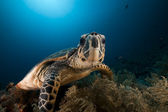 Hawksbill turtle in the Red Sea. — Stock Photo