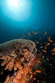 Umbrella xenia in the Red Sea. — Stock Photo