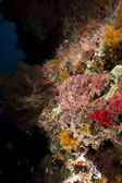Smallscale scorpiofish in the Red Sea. — Stock Photo