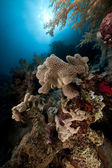Slimy leather coral and sun in the Red Sea. — Stock Photo