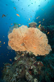 Sea fan, coral and fish in the Red Sea. — Stock Photo