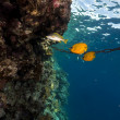Masked butterflyfish in Red Sea. — Stock Photo #10753146