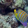 Regal angelfish in the Red Sea. — Stock Photo
