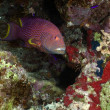 Lyretail grouper in the Red Sea. - Stockfoto