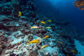 Yellowsaddle goatfish in the Red Sea. — Stock Photo