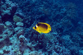 Raccoon butterflyfish in the Red Sea. — Stock Photo