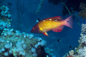 Diana's hogfish in the Red Sea. — Stock Photo