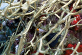 несовершеннолетних hogfish в кивала роговой коралл. — Стоковое фото