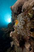 Anémona burbuja y anémona en el mar rojo. — Foto de Stock