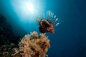 Drakfisk i Röda havet. — Stockfoto