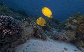 Pez mariposa enmascarado en el mar rojo. — Foto de Stock