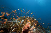 Anthias and tropical underwater life in the Red Sea. — Stock Photo