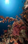Longnose hawkfish dans un branchage noir corail. — Photo