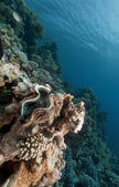 Giant clam and tropical underwater life in the Red Sea. — Fotografia Stock