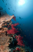 Sea fan, tropical coral and diver in the Red Sea. — Stock Photo