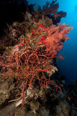 Toxic finger coral and tropical underwater life in the Red Sea. — Stock Photo