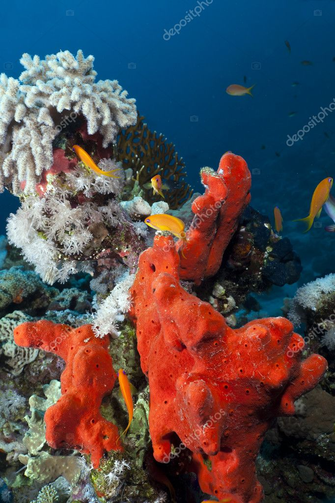 Red boring sponge. — Stock Photo #10753550