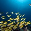 Blue-striped snappers in the Red Sea. - Stock Photo