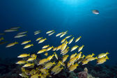 Blue-striped snappers in the Red Sea. — Stock Photo