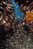 Gyllene sopmaskiner och korallrev i Röda havet. — Stockfoto