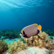 Emperor Angelfish and coral in the Red Sea. — Stock Photo #10770645