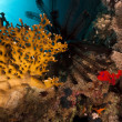 Sawtoothed feather star and fish in the Red Sea. — Stock Photo #10770825