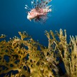 Lionfish in the Red Sea. — Stock Photo