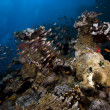 Coral and fish in the Red Sea. — Stock Photo #10770930
