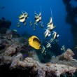 Stock Photo: Bannerfish at Thistlegorm wreck.