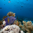 Stock Photo: Yellowbar Angelfish in Red Sea.