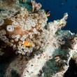 Anemone and anemonefish in the Red Sea. — Stock Photo #10778083