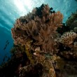 Finger leather coral in the Red Sea. — Stock Photo