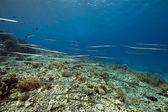 Cornetfish and coral garden — Stock Photo